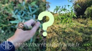 planter tige bambou sans racine