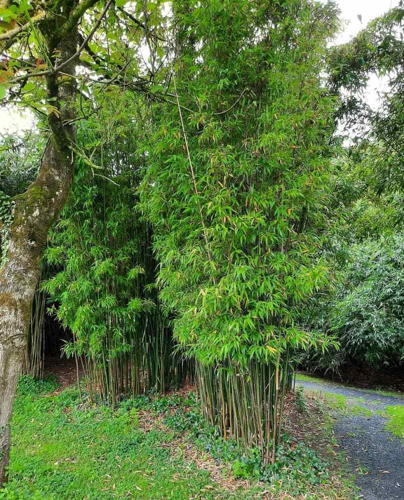 Semiarundinaria fastuosa (Vallée des bambous)