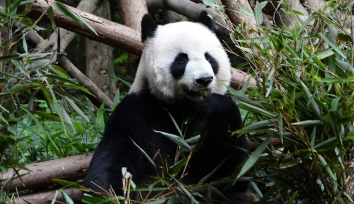 Panda is eating bamboo