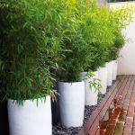 Bambusy w donicy – na tarasie i balkonie