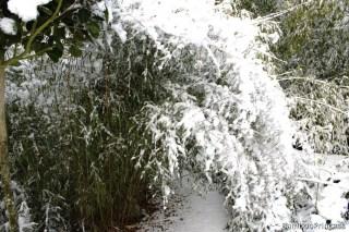bambus przysypany śniegiem