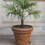 Zimowanie palm w donicach