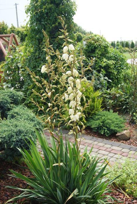 Juka karolińska (Yucca filamentosa)