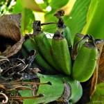 Uprawa bananów w gruncie