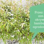 Przez ile zim okrywać bambusy ogrodowe?
