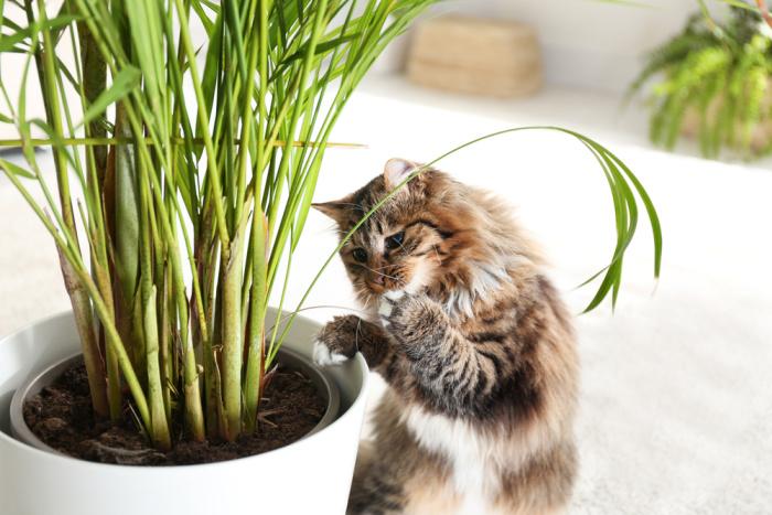Czy palmy są trujące dla kotów?