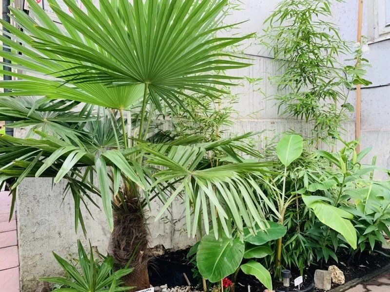 miejska-dżungla-kraków-palma-mrozoodporna-bambus-banan