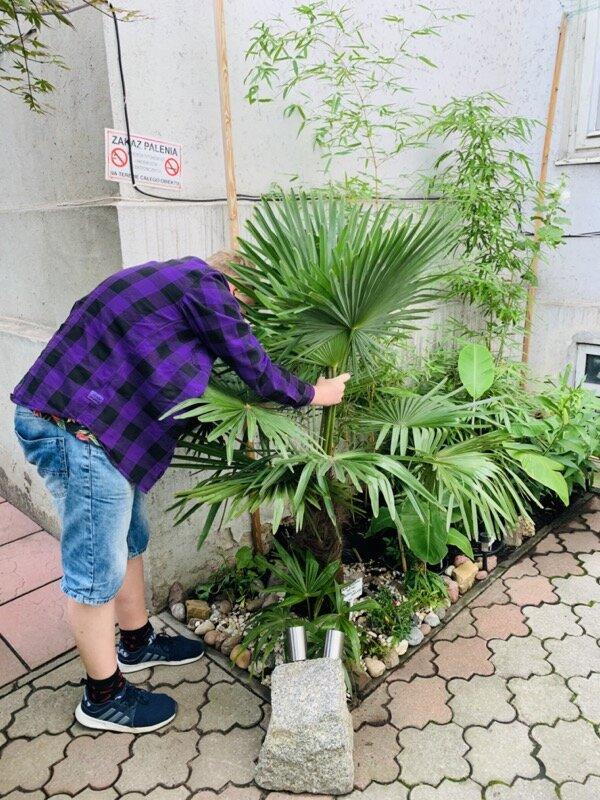 miejska-dżungla-kraków-palma-mrozoodporna-szorstkowiec-fortunego