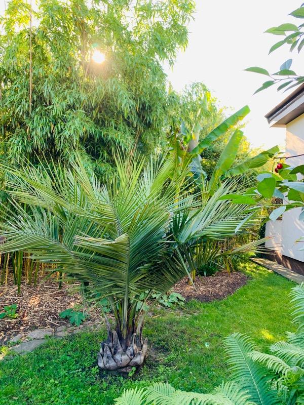 jubaea chilensis palma mrozoodporna