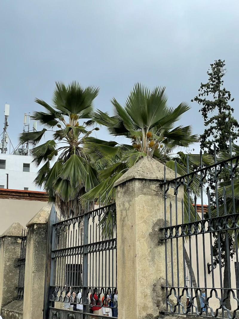 pritchardia-palma-dominikana