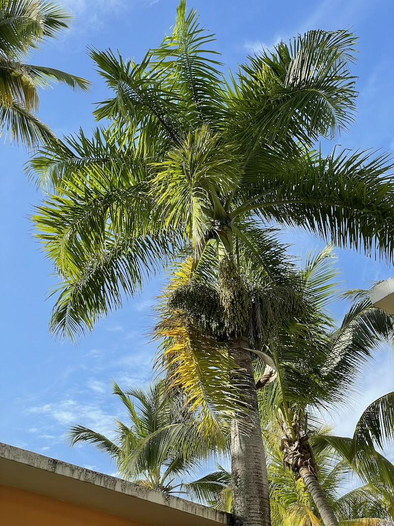 palma-królewska-dominikana