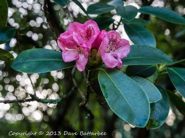 December Flowering Rhododendron, Stourhead Gardens.