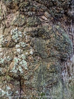 Bark of Tulip Tree, Stourhead Gardens.