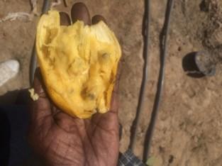 Few seeds in banana hybrids.