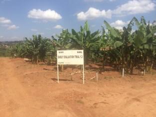 Banana breeding block at NARO, Uganda.