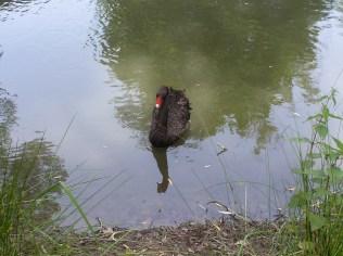 Der scharze Schwan vom Golfplatzsee