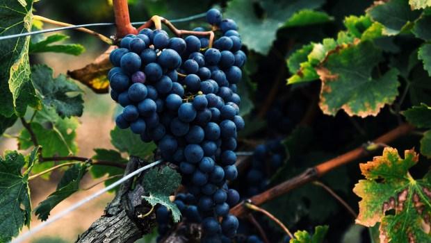 Bündner Wein setzt Rekord an Weinbörse