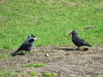 Black birds playing with the grass.