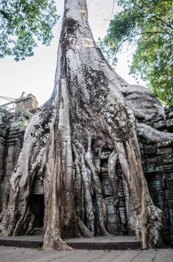 Ancient roots of Ta Prohm