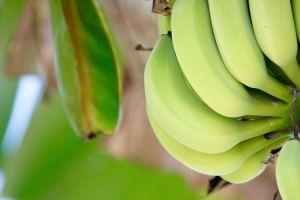 Exportación de banano de Bolivia baja de precio