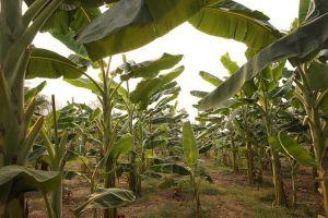 Plantaciones bananeras libres del Virus del Moko en Ecuador