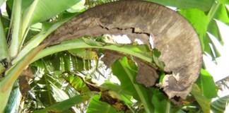 Lucha mundial contra los hongos que afectan al banano