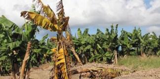 Industria bananera comienza a decir adiós al Mal de Panamá