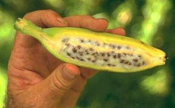 La Sigatoka negra es cada día más resistente a los pesticidas