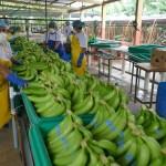 producción banano orgánico en Ecuador