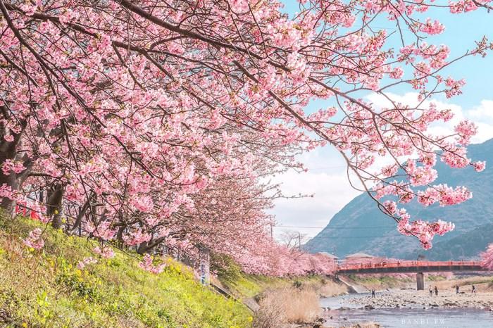 靜岡伊豆河津櫻:日本2月早開櫻花季,8000棵櫻花樹下感受粉紅色櫻花雨