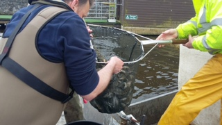 BAC Adrian McAnarney stocking fingerling Brown Trout at Corbet Lough on 11 April 2018