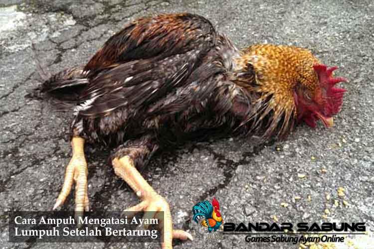 Cara Ampuh Mengatasi Ayam Lumpuh Setelah Bertarung - Sabung Ayam Online