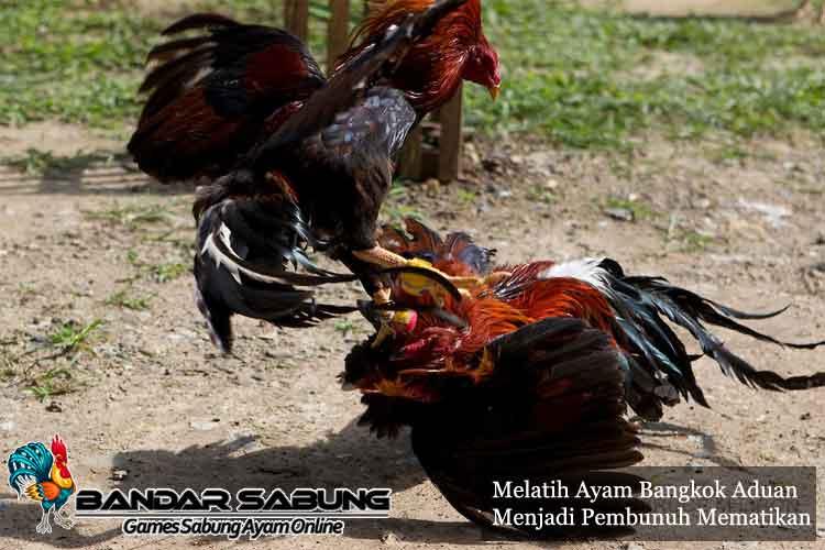 Tips Melatih Ayam Bangkok Aduan Menjadi Pembunuh Mematikan