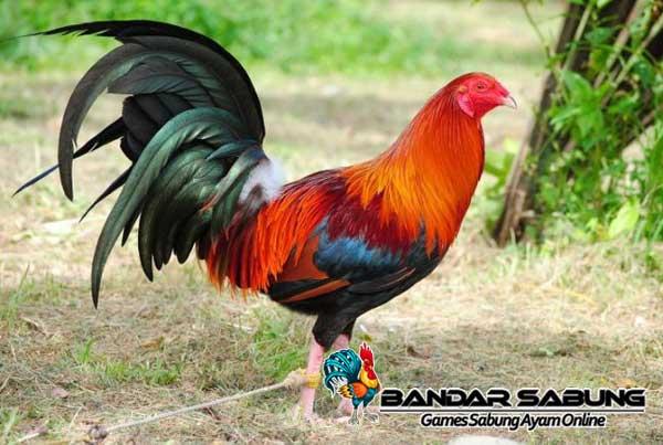 Tips Beternak Ayam Bangkok Untuk Pemula