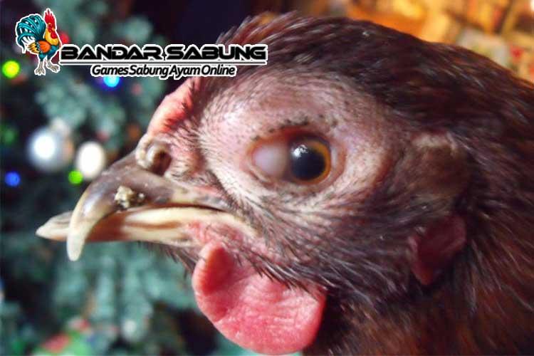 Cara Mengobati Mata Ayam Aduan Berbusa