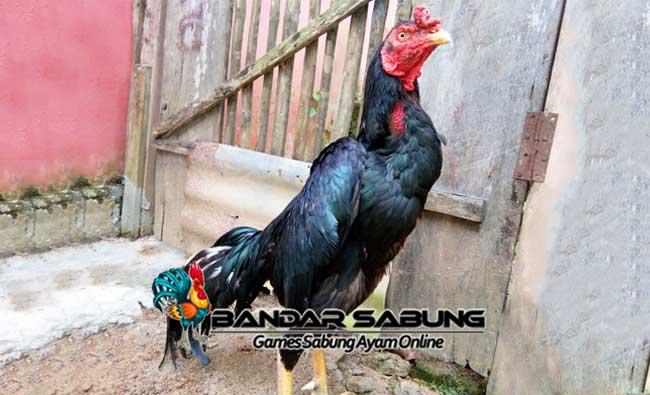 Fakta Sabung Ayam Bangkok