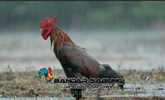 Ayam aduan unggul dikenal memiliki tendangan yang kuat dan merupakan unggas yang secara dominan memakan biji bijian.