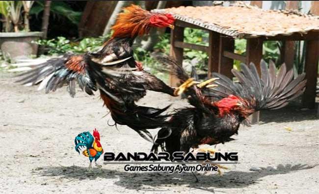 Ayam Jago dikenal sebagai salah satu unggas yang gagah dan dapat menhajar lawannya