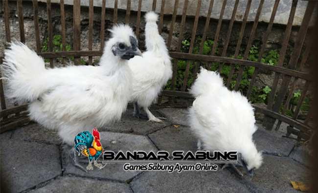 Mengenal Ayam Kapas Atau Silkie Hen