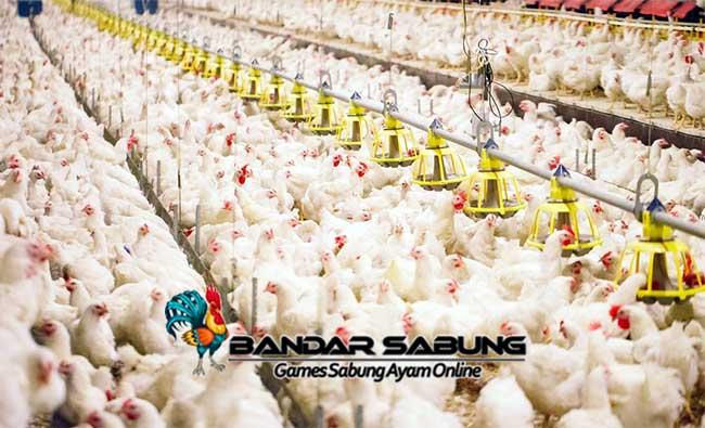 Tips Mencegah Penyakit Ayam Broiler
