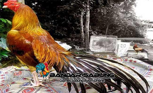 Ayam Murai