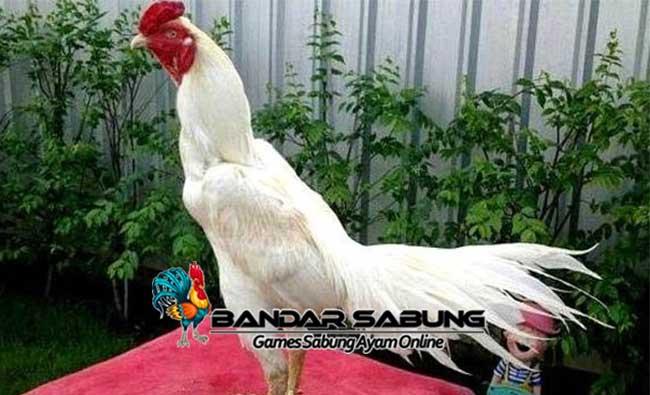 Tips Merawat Ayam Aduan Putih