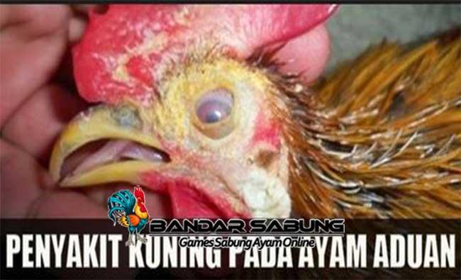 Cara Mengobati Penyakit Kuning Pada Ayam Yang Efektif