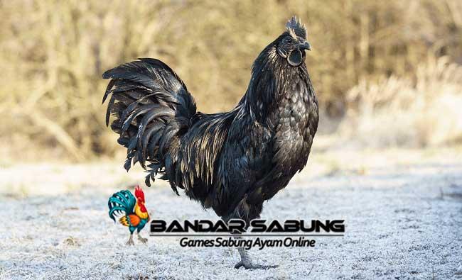 Ciri Ciri Ayam Cemani Dapat Dibedakan Dengan Jenis Ayam Lainnya