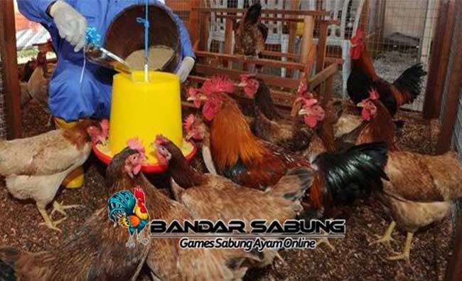 Ciri Ayam Bangkok Unggul untuk Indukan