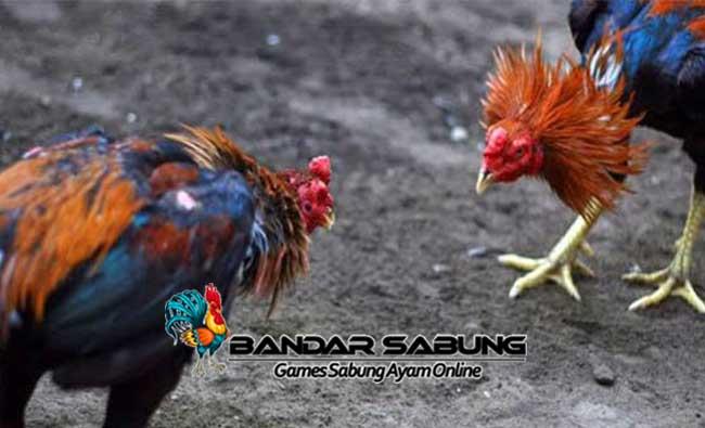 Cara Mengetahui Kecerdasan Ayam Aduan