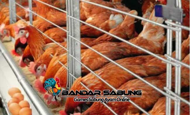 Jenis Kandang Untuk Ayam Ras Petelur Yang Dapat Dipilih Peternak