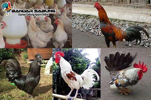 Jenis Ayam Yang Ada di Indonesia