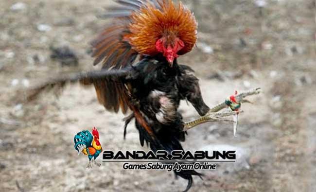 Jamu Kuat Untuk Ayam Bangkok Sabung Ayam Online