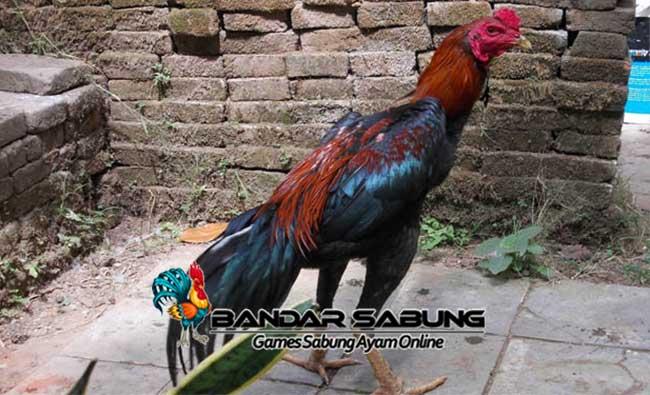 Mengenal Ayam Bangkok Gombong